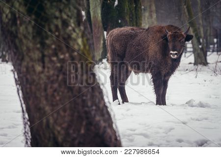 Wisent In Show Reserve Of Bialowieza Forest National Park In Poland
