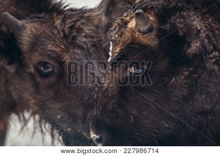 Portrait Of Young European Bison On The Snow In Bialowieza Forest National Park In Poland