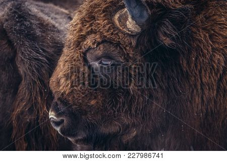 Portrait Of Wisent In Bialowieza Forest National Park In Poland