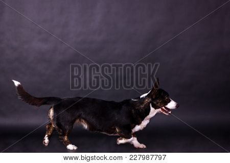 Welsh Corgi Cardigan Looking Forward And Running On Black Background At Studio