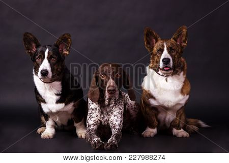 German Shorthaired Pointer (kurzhaar) With Two Welsh Corgi Cardigan Looking Forward On Black Backgro