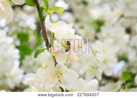 Bee On A White Blossoming Tree Branch. Flowers Of The Cherry Blossoms