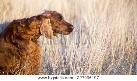 Beautiful, Cute Irish Red Setter Dog Smelling In The Grass