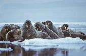 Herd of walrus on an ice flow in the Canadian Arctic. poster
