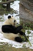 Giant panda bear eating bamboo leaf in Vienna Zoo, Austria poster