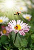ladybird on daisy poster