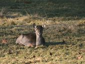 young deer laying in the sun in a mountain meadow poster
