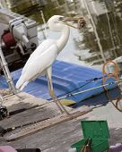 White Herron on a dock eating a fish head. poster