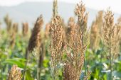 Millet or Sorghum an important cereal crop in field, Sorghum a widely cultivated cereal native to warm regions. It is a major source of grain and of feed for livestock poster