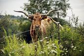 A Texas longhorn cow looking at the viewer through electric and barbed wire. poster
