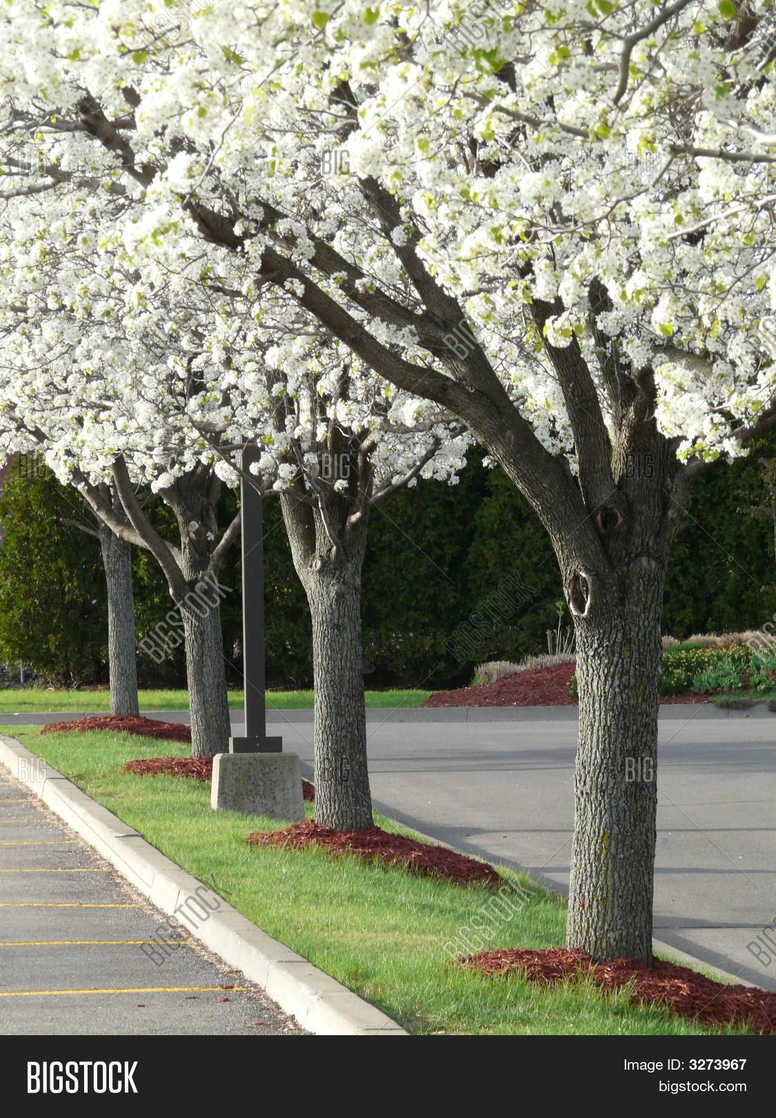 Row White Flowering Image Photo Free Trial Bigstock