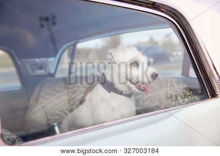 Dog Alone Is Locked In Car On Heat Hot Day, Howls And Whines, Asks For Water On Sunny Summer