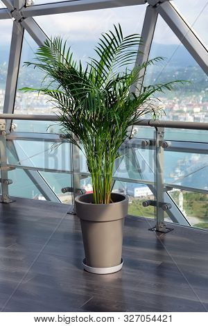 Decorative Areca Palm In A Pot Against The Window. Houseplant Dypsis Lutescens To Decorate The Inter