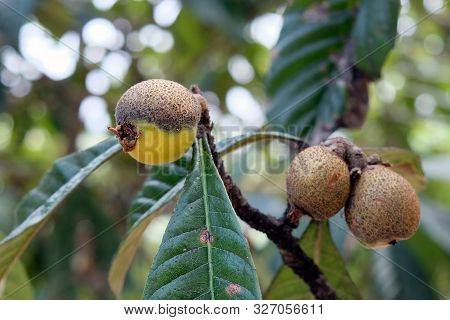 The Leaves And Fruits Of The Medlar Began To Turn Black And Dry. Diseases Of The Medlar Tree. Soot D