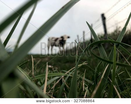 The Montbeliarde cow is a breed of red pied dairy cattle, standing in field in Doubs, Bourgogne, Franche-Comte region of eastern France, Europe