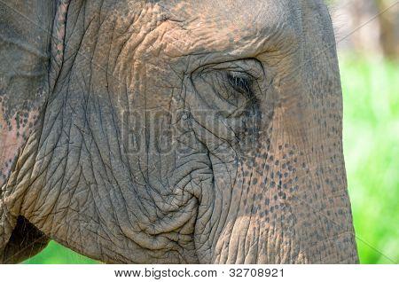 asia elephant head close up chiang mai, Thailand poster