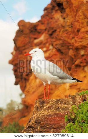 A Seagull On A Cliff Face At The Ocean Shore, Mornington 2019