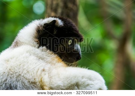 Closeup Of The Face Of A Black Crowned Sifaka Monkey, Endangered Lemur Specie From Madagascar