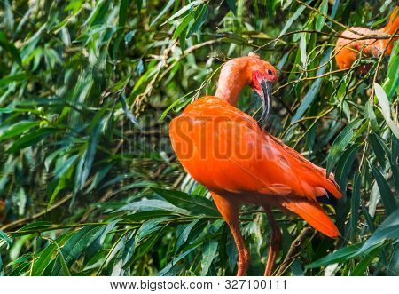 closeup of a red scarlet ibis in a tree preening its feathers, typical bird behavior, colorful and exotic bird specie from America poster