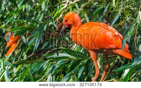 closeup portrait of a red scarlet ibis sitting in a tree, colorful and tropical bird specie from America poster