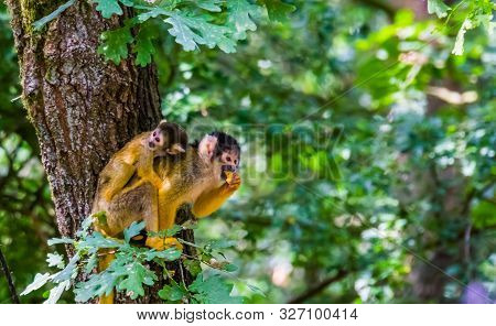 Common Squirrel Monkey With A Infant On Her Back Eating Food In A Tree, Tropical Animal Specie From