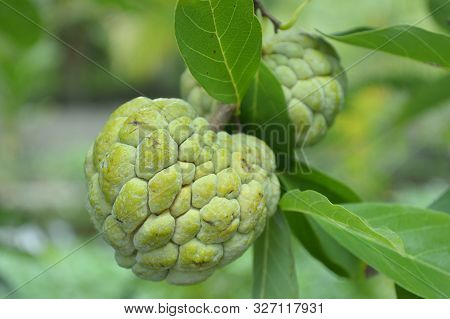 Sugar Apple (annona Squamosa) From Central Of Thailand