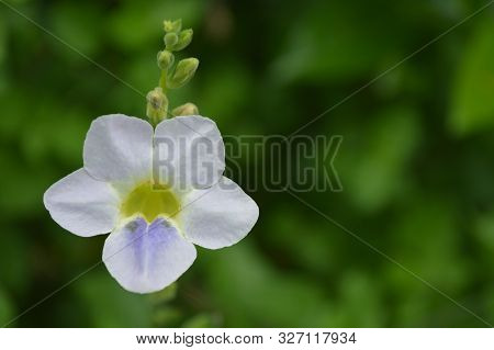 Chinese Violet Flower, Asystasia Sp., From Central Of Thailand