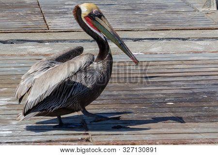 Male Brown Pelican In Breeding Plumage Strutting On Wooden Deck