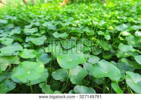 Gotu Kola Or Centella Asiatica, Green Nature Herb , Thailand