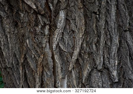 Bark Of Tree Texture. Wood Bark Texture. Part Of A Tree In Daylight. The Invoice For Designers. Tree