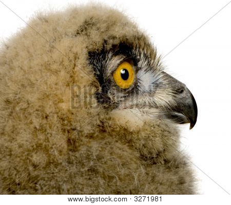 Eurasian Eagle Owl - Bubo bubo (6 weeks) in front of a white background poster