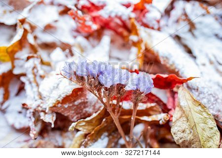 Bright Orange Autumn Leaves Covered With A Light Layer Of Snow. Leaves In The Snow. Snow Lies On Aut