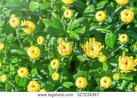 Yellow Chrysanthemum Mum Flowers And Buds.