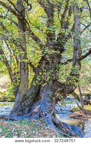 Scenic View Of An Old Beech Tree Near Olt River At Autumn In Transylvania, Romania, Vertical Shot