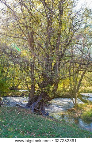 Scenic View Of An Old Beech Tree Near Olt River At Autumn In Transylvania, Romania, Vertical Shot Wi