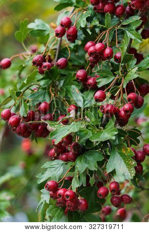 Green Branches Of Hawthorn Strewn With Red Berries.