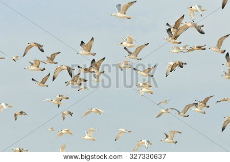 A Large Flock Of Young And Adult Gulls Takes Off Into The Sky. Pallas Gull Or Great Black-headed Gul