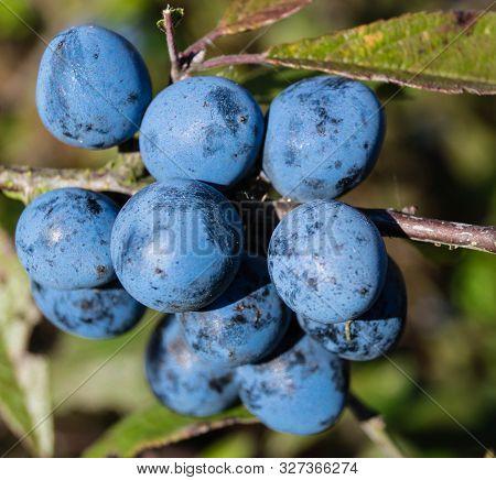 Fruits Of The Blackthorn Bush Prunus Spinosa