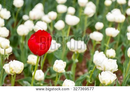Red tulip growth among white tulip background (Concept for differentiate from other, leader or unique) poster