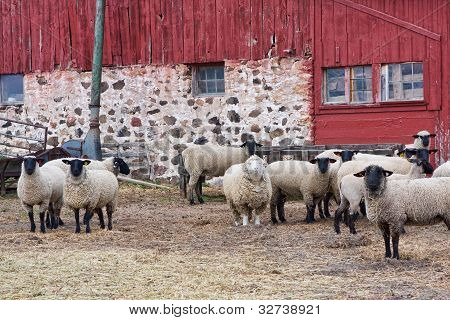 Sheep near a barn