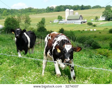 Cows On A Farm
