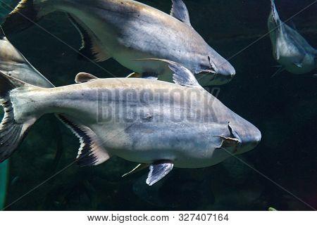 School of shark catfish (Pangasianodon gigas) in their habitat poster