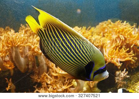 Beautiful Emperor Angelfish (pomacanthus Imperator) Among The Coral Reef