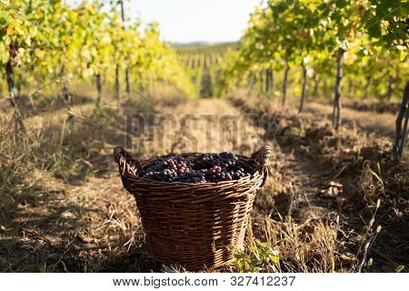 Perspective View Closeup Of Wicker Brown Baskets Full Of Red And Rose Grapes In The Morning Sun With
