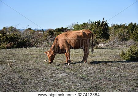 Sunlit Grazing Young Cow In A Pastureland With Junipers