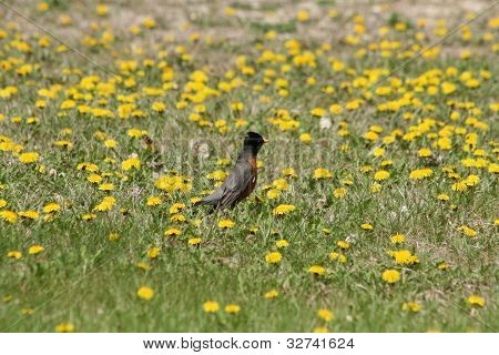 American Robin standing in a field of yellow dandelions poster