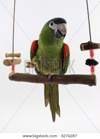 Macaw On A Perch