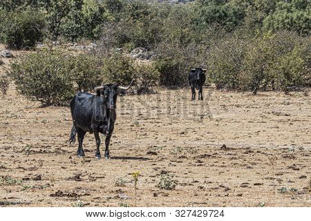 Typical rural landscape with bulls bred for bullfighting in Guadarrama sierra, near the city of Madrid. Spain. poster