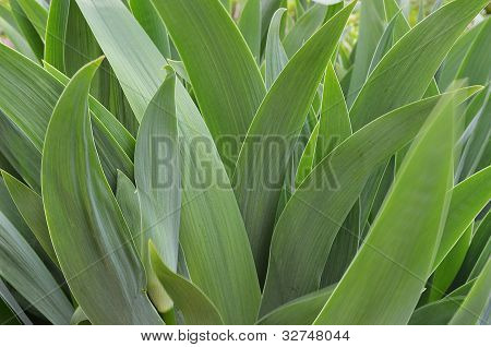 The Leaves Of An Iris