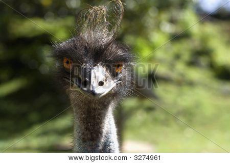 Ostrich Front.